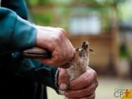 Caudectomia e casqueamento de ovinos: saiba mais sobre isso