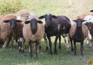 Manejo de ovinos: sinais de saúde e sinais de doenças