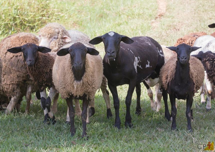 Manejo de ovinos: sinais de saúde e sinais de doenças   Artigos CPT