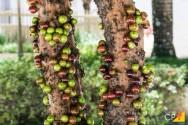 Escolha das frutíferas ideais para plantio em calçadas