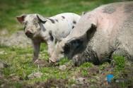 Novas técnicas utilizadas na criação e produção de suínos