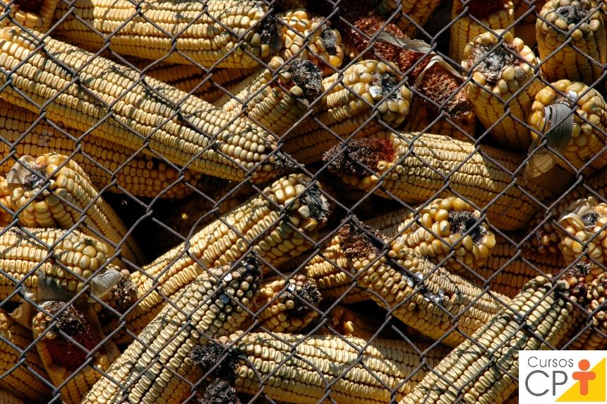 Micotoxinas na avicultura: saiba mais sobre isso   Artigos CPT