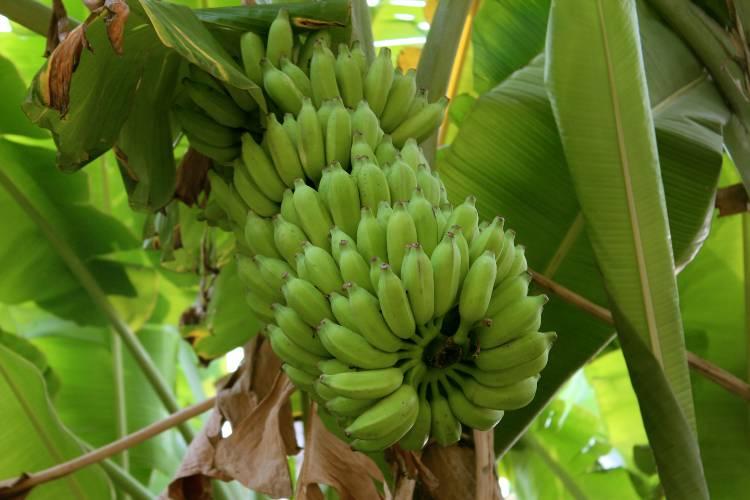 Doenças da bananeira: mal-do-panamá