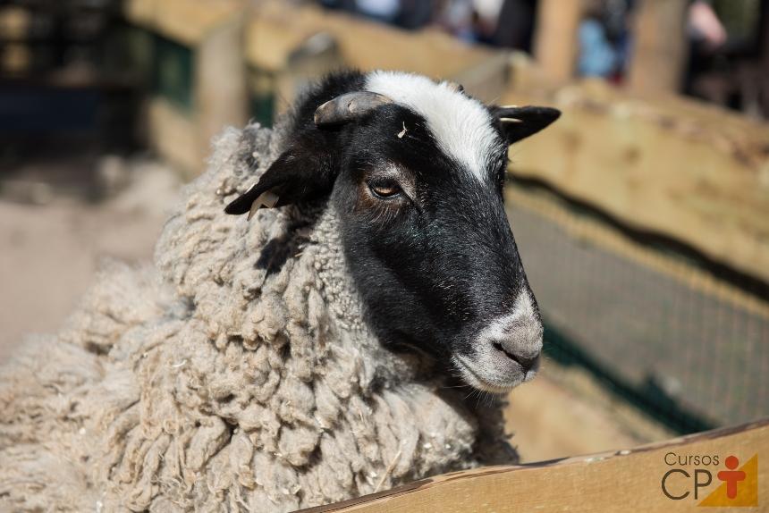 Orquiectomia em carneiros: o que fazer após a exposição dos testículos?   Artigos CPT