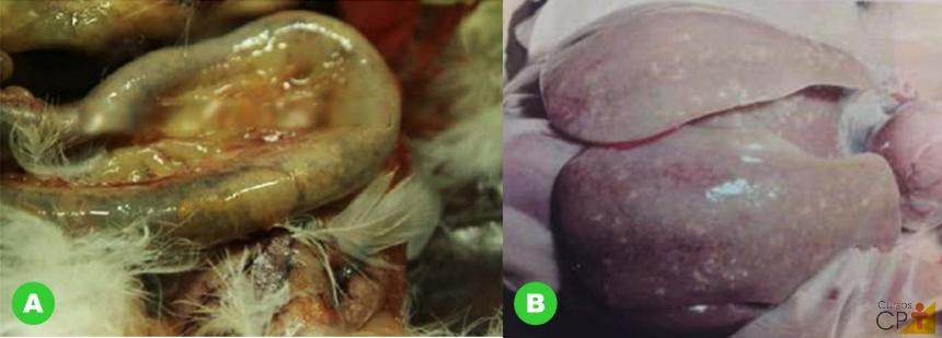 (A) Alça intestinal com presença excessiva de gases e (B) hepatomegalia em ave, fígado com tamanho aumentado e pontos esbranquiçados devido à enterite necrótica.