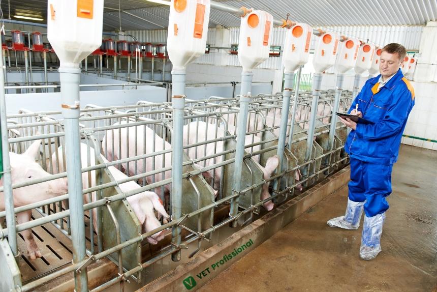 Pré-cobrição e gestações de porcas: instalações adequadas   Artigos VetProfissional