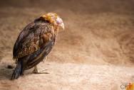 Estafilococos, estreptococos e colibacilose na avicultura