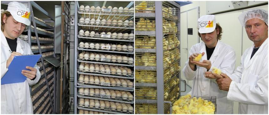 Incubatórios e nascedouros industriais de ovos. Saiba mais sobre eles   Artigos CPT