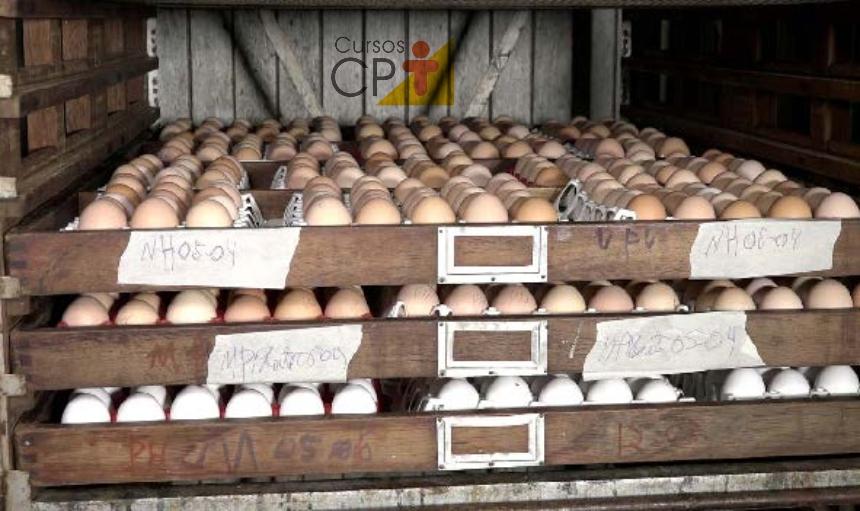 Ovos na incubadora Artigos CPT