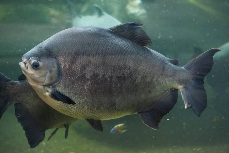Aprenda agora sobre os peixes pacu e tambaqui