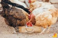 Dicas para uma criação de galinhas de sucesso