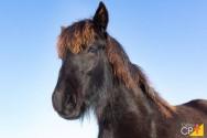 Raça de cavalo Frisio: características e cuidados