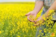 Tudo o que você precisa saber sobre cultivo de canola