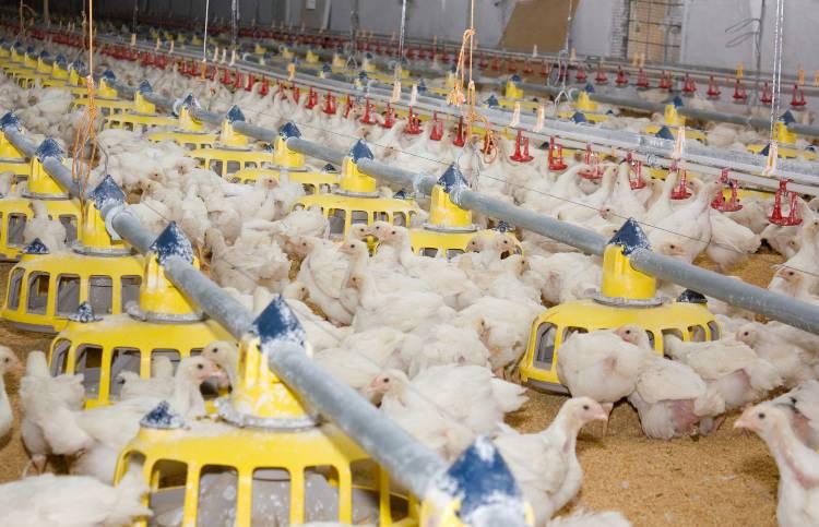 Dicas para compostagem da cama do aviário