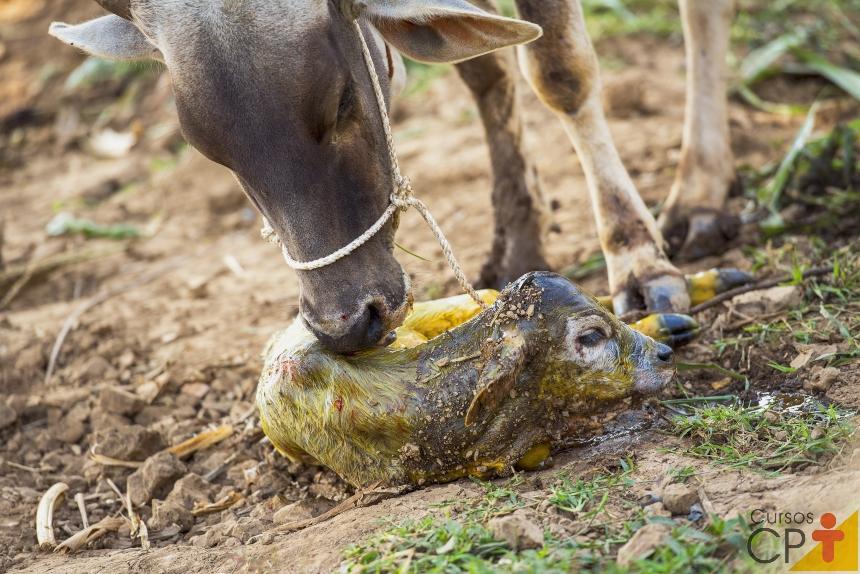 Por que as vaca lambe o bezerro após o parto?   Artigos CPT