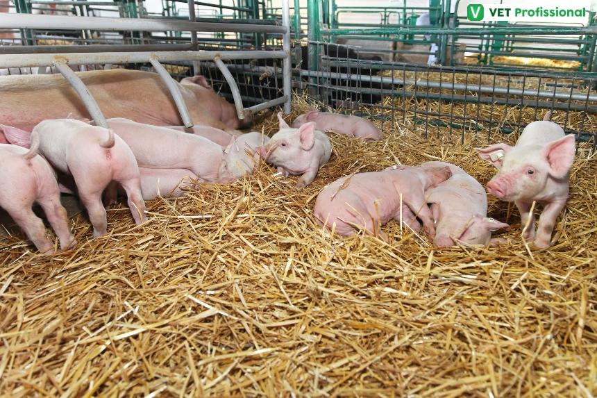 Criação de suínos: a maternidade exige dois ambientes distintos   Artigos VetProfissional