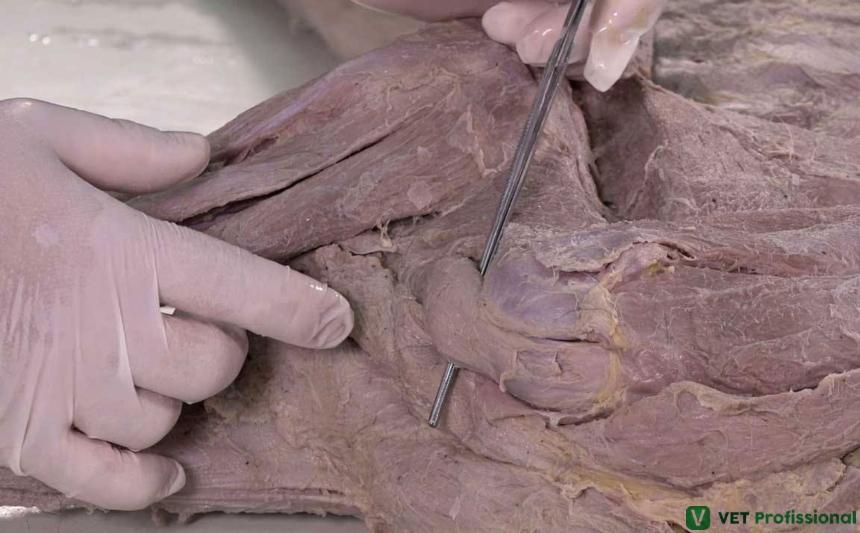 Músculo bíceps braquial Artigos VetProfissional
