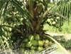 Mudas de boa qualidade do coqueiro anão