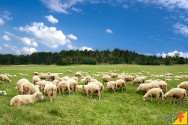 Escolhendo as melhores pastagens para a criação de ovinos