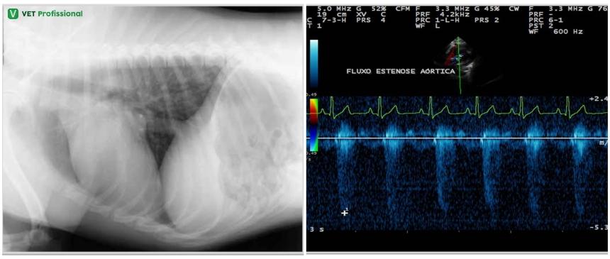 Exames para detecção de cardiomegalia: (A) Radiografia torácica; (B) Ecocardiograma bidimensional Artigos VetProfissional