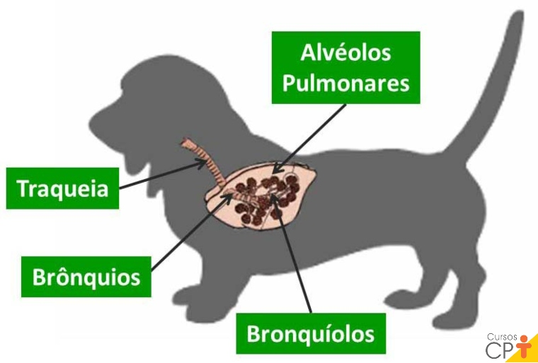 Ilustração das estruturas que fazem parte do trato respiratório inferior.