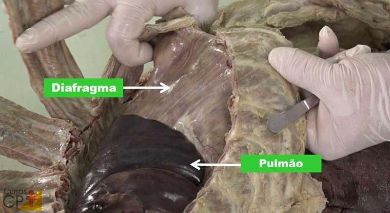 Diafragma e pulmão na cavidade torácica de um feto de bovino CPT