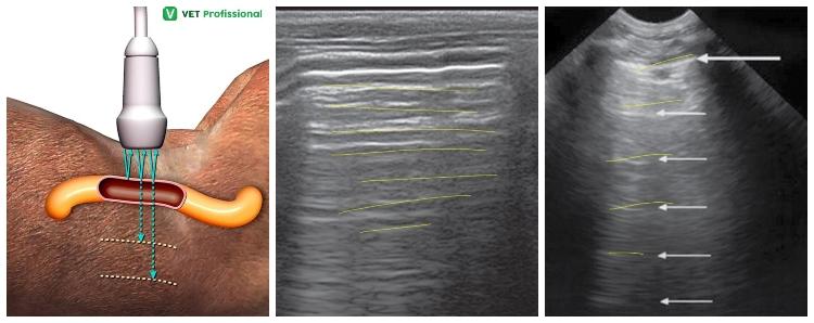 Ultrassonografia da alça intestinal (com gás), formando as linhas hiperecogênicas, com o som rebatendo até perder a velocidade VetProfissional