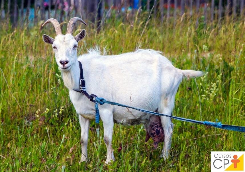 Criação de cabras leiteiras? Cuidado com a Micoplasmose!