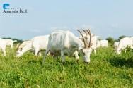 O que é necessário saber sobre o manejo alimentar e nutricional de caprinos e ovinos?