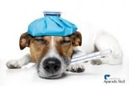Cinomose canina: transmissão, sintomas, tratamento e prevenção