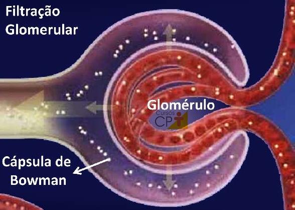Ilustração do processo de filtração glomerular no interior da Cápsula de Bowman   Artigos CPT