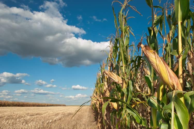 Qual a principal lagarta que ataca a cultura do milho?