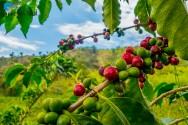 Calagem para cafezais: o que é, para que serve e como realizá-la?