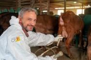 Raças de caprinos bons de leite? Saanen, Toggenburg e Parda Alpina