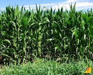 Quer ter acesso a dicas de ouro sobre consórcio de milho com braquiária? Baixe agora nosso e-book gratuito!