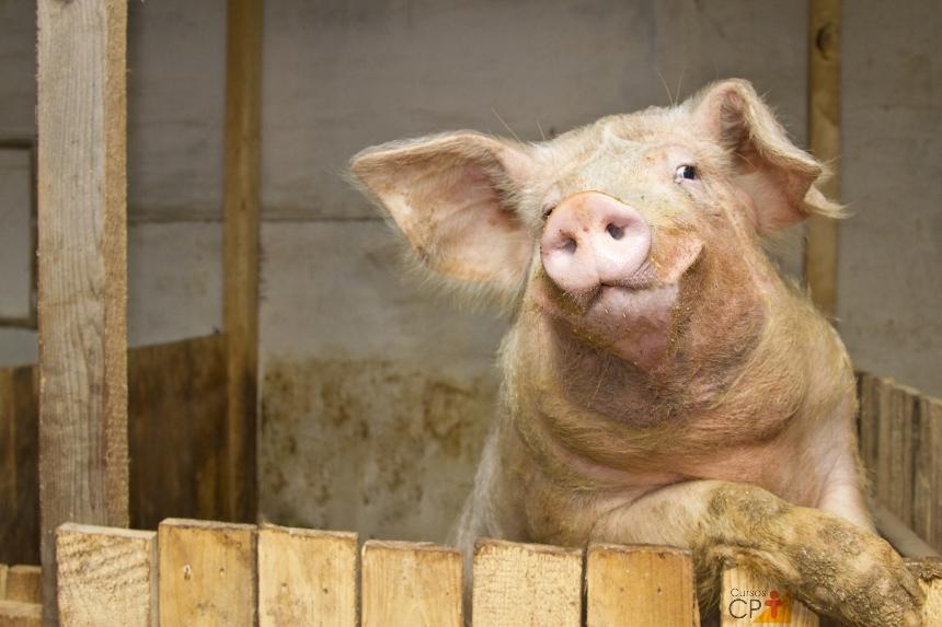 Veterinário de suínos? Conheça o aparelho reprodutor do macho   Artigos CPT