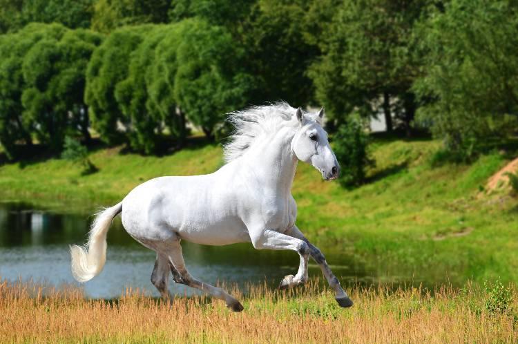 Conhece o cavalo Andaluz? Saiba tudo sobre a raça