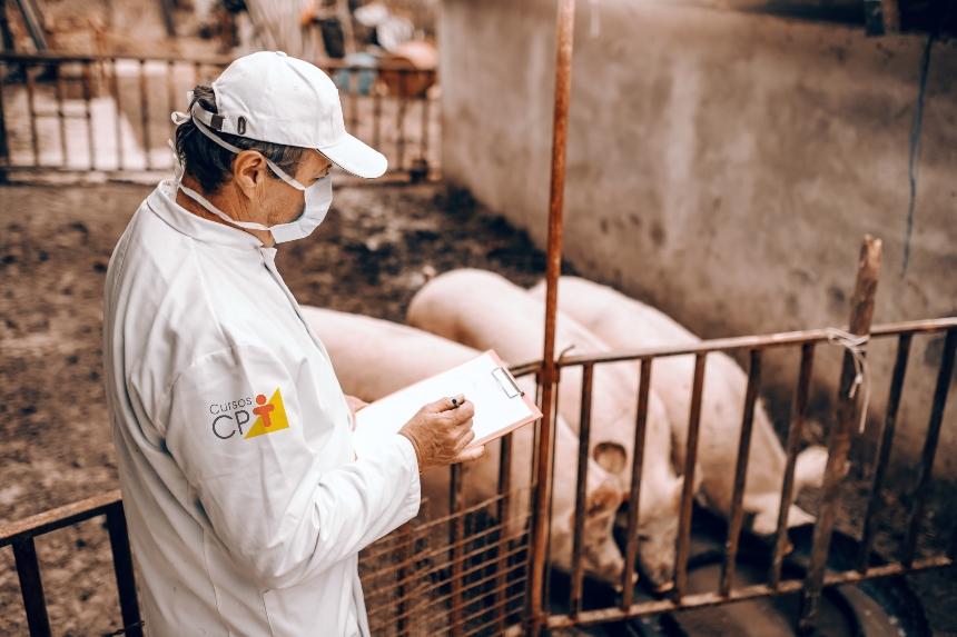 Veterinário de suínos? Saiba mais sobre a maturidade sexual das porcas   Artigos CPT