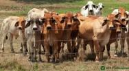 Clostridioses em bovinos: doenças bacterianas de alta mortalidade