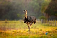 Quer iniciar uma criação de avestruzes? Veja como é fácil!