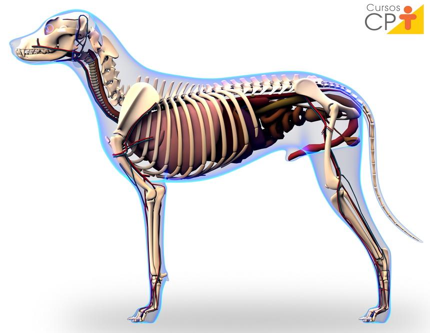 Anatomia veterinária: o que é?