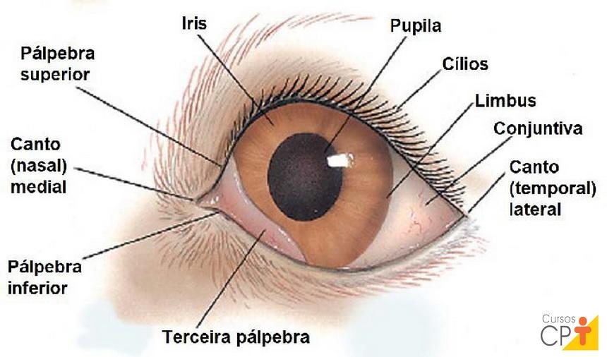 Esquema de um olho de animal com foco nas pálpebras