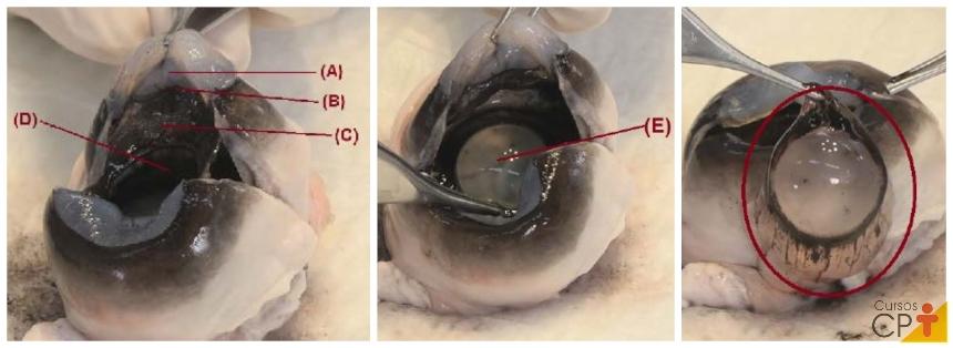 Imagem interna de um olho bovino: (A) Córnea; (B) Ângulo iridocorneano; (C) Íris (D) Orifício da íris; (E) Lente dentro do orifício; (F) Lente fora do orifício.