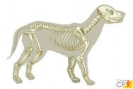 Estudando osteologia animal? Conheça a estrutura das vértebras cervicais