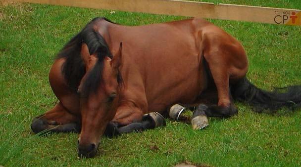 Animal com EEV posicionado em decúbito e com quadro de depressão   Artigos CPT