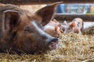 Suinocultura: o que fazer após o parto das porcas?
