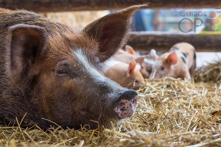 Suinocultura: o que fazer após o parto das porcas?   Artigos CPT