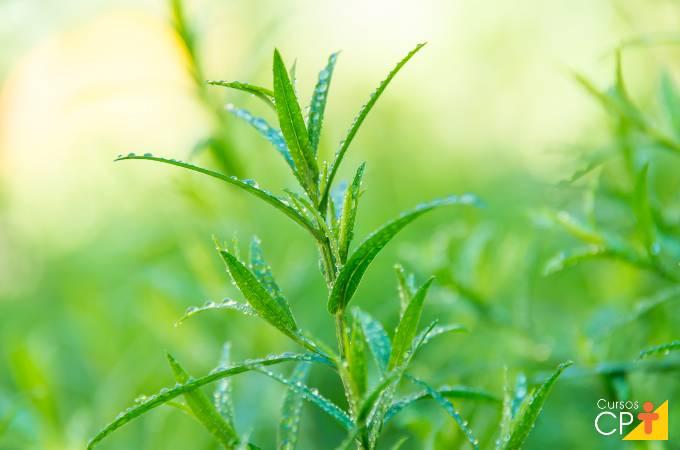 Plantas aromáticas: como plantar estragão?