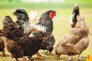 Quais os impactos do coronavírus na avicultura?
