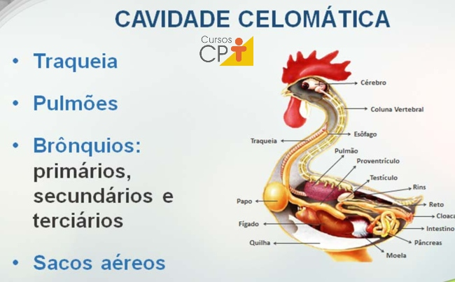Cavidade celomática Artigos CPT